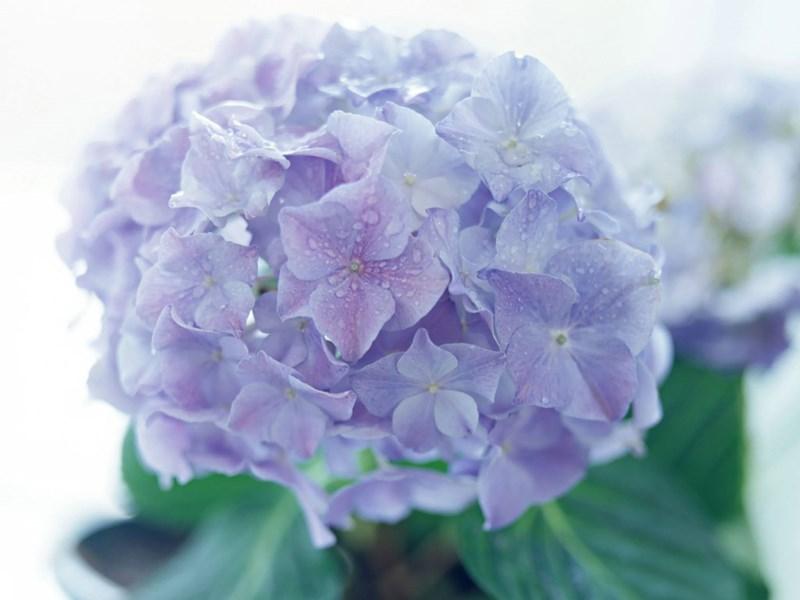 Trong lịch sử, nữ hoàng Cleopatra đã từng ép người hầu tự tử bằng loài hoa này.Hình minh họa.