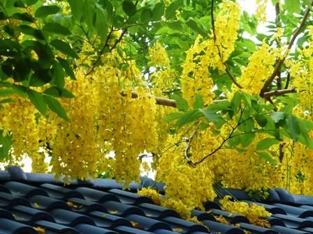 Cả lá, hoa, quả của cây muồng hoàng yến đều có thể gây ngộ độc nếu ăn phải. Hình minh họa.