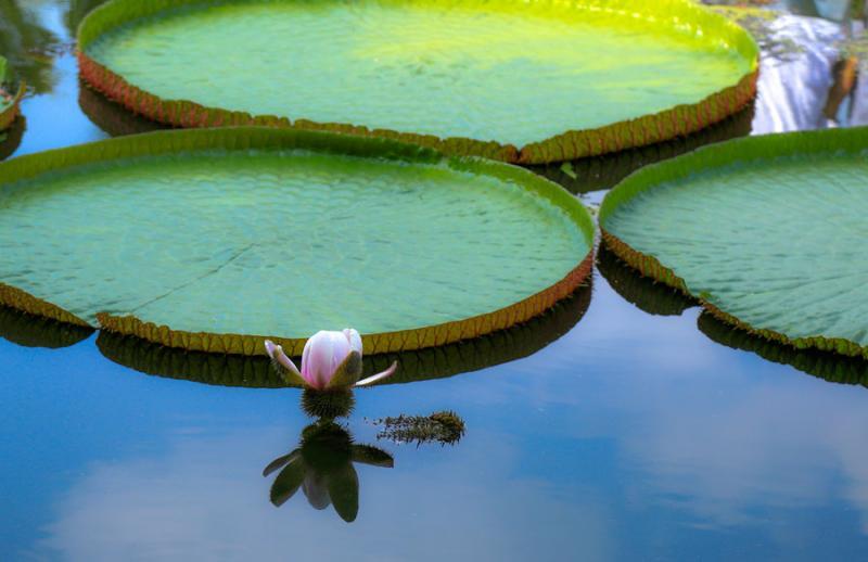 Màu của hoa sen vua buổi sáng.