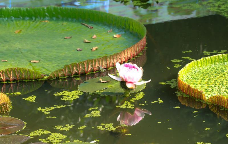 Hoa sen vua buổi chiều.