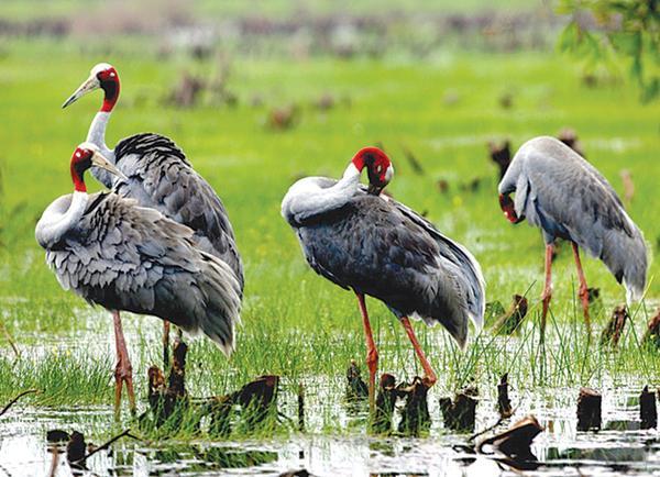 Sếu đầu đỏ, loài chim đặc trưng của Tràm Chim