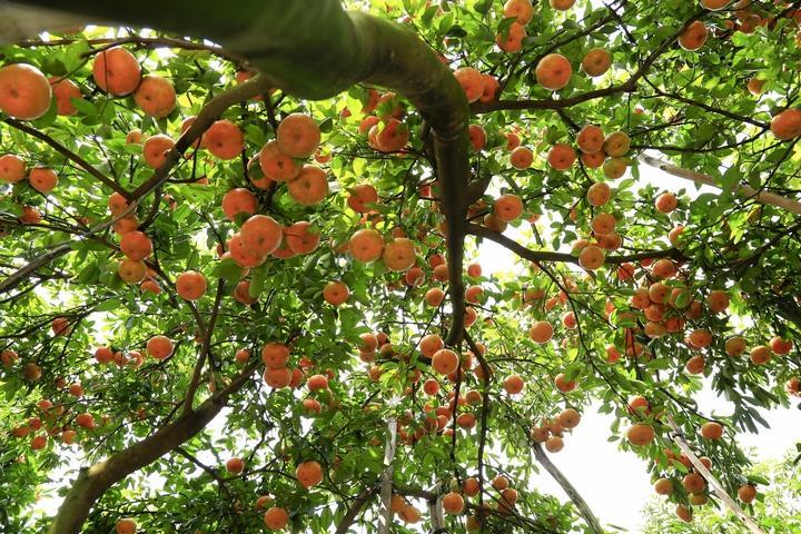 Để phục vụ khách tham quan, nhiều nhà vườn đã tiến hành cho trái rải vụ.