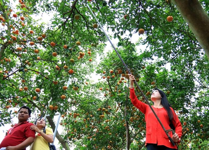 Du khách còn có thể trải nghiệm hái quýt tại vườn rồi mua số quýt trên về làm quà với giá 35.000 đ/kg.
