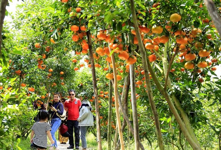 Bình mỗi ngày những vườn quýt như thế này tại Lai Vung thu hút khoảng 100 khách tham quan.