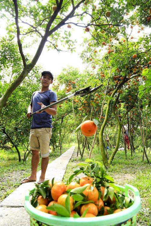 Theo dự tính, đến ngày 27- 28 tết các chủ vườn làm du lịch sẽ tiến hành hái trái để bán cho lái.