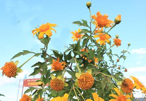 Hoa dã quỳ là nét đặc trưng của phố núi Pleiku.