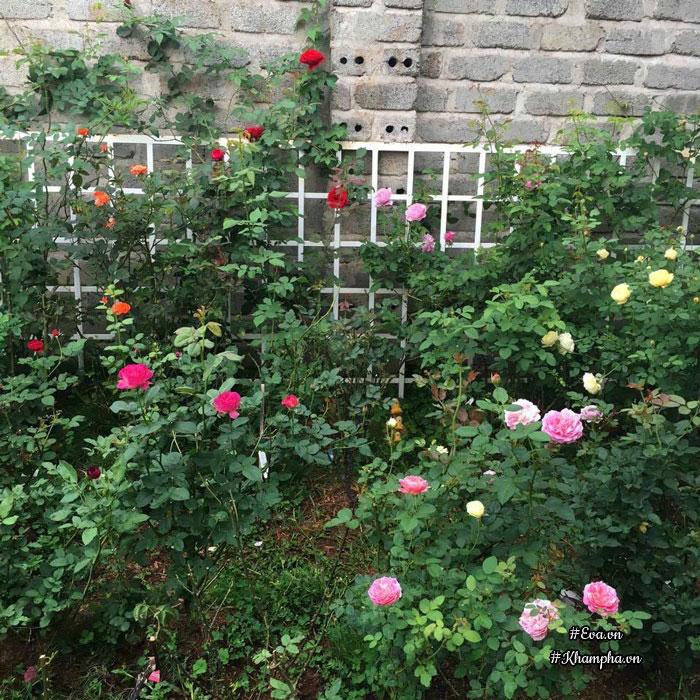 Một góc chị trồng hoa hồng hạ thổ.