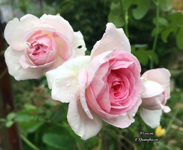 Hoa hồng Mon Coeur nở rực rỡ.