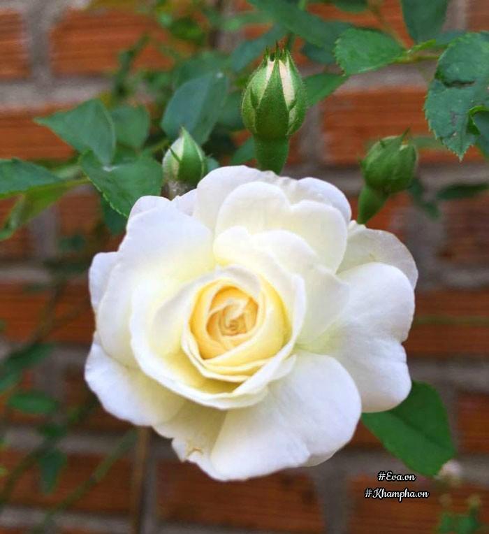 Hoa hồngProsperity.