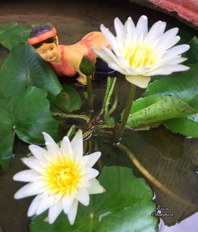 Ngoài trồng hồng chị còn trồng hoa súng, hoa sen.