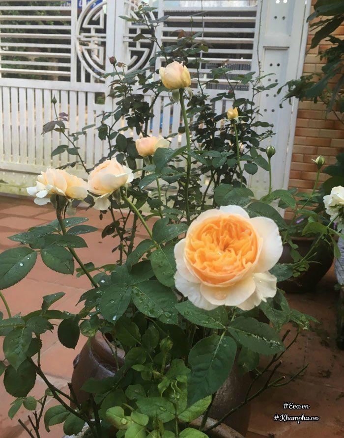 Hoa hồngJuliet.