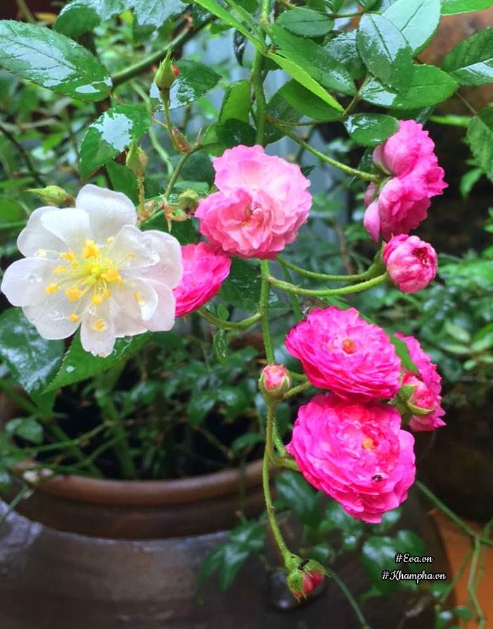 Cây hồng leoVinayard song.