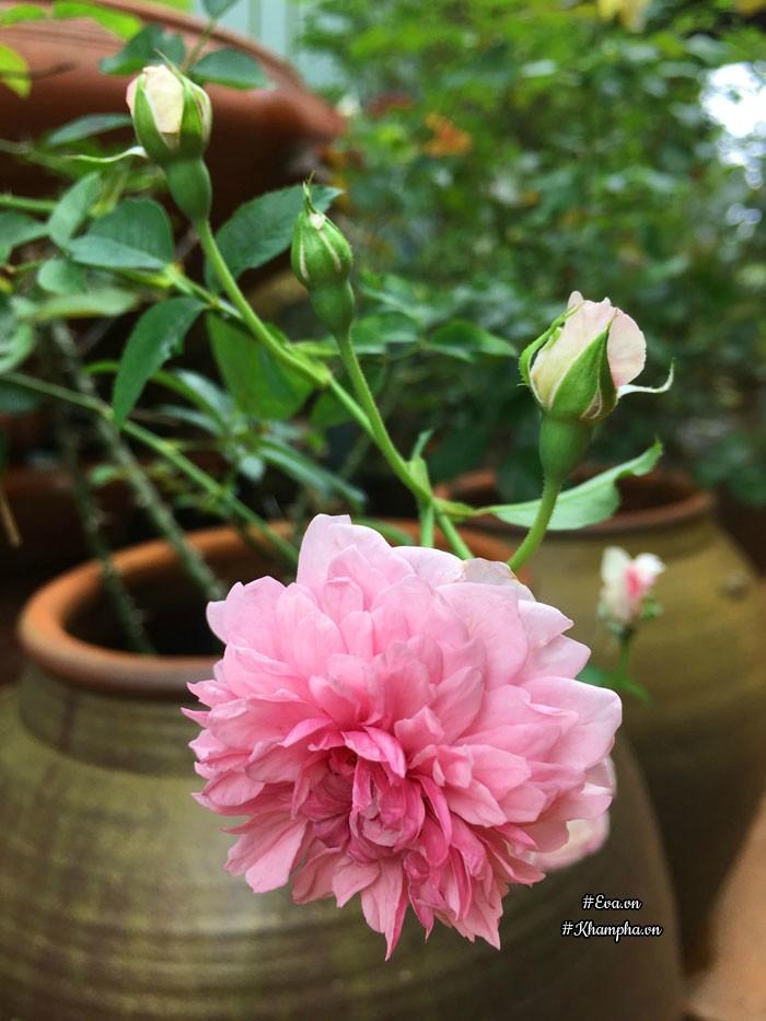 Các cây hoa hồng đều được chị trồng trong chum. Đây là hoa hồng Sister elizabeth.