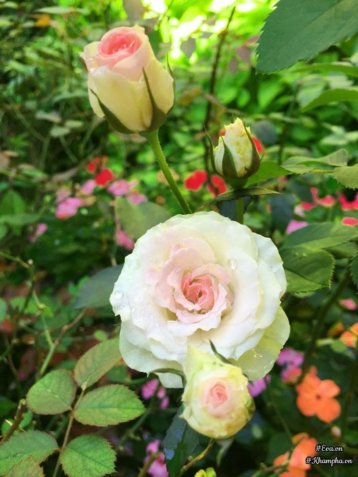 Đây là hoa hồng Mini eden. Chị Hạnh cho biết hồng nội không đa dạng về màu sắc, kiểu dáng như hồng ngoại.