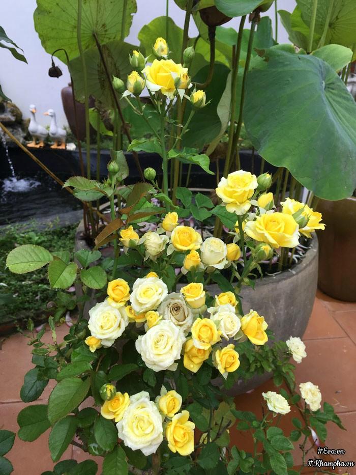 Hoa hồng Fair vàng - Loài hoa hồng ngoạiđầu tiên mà chị biết đến.
