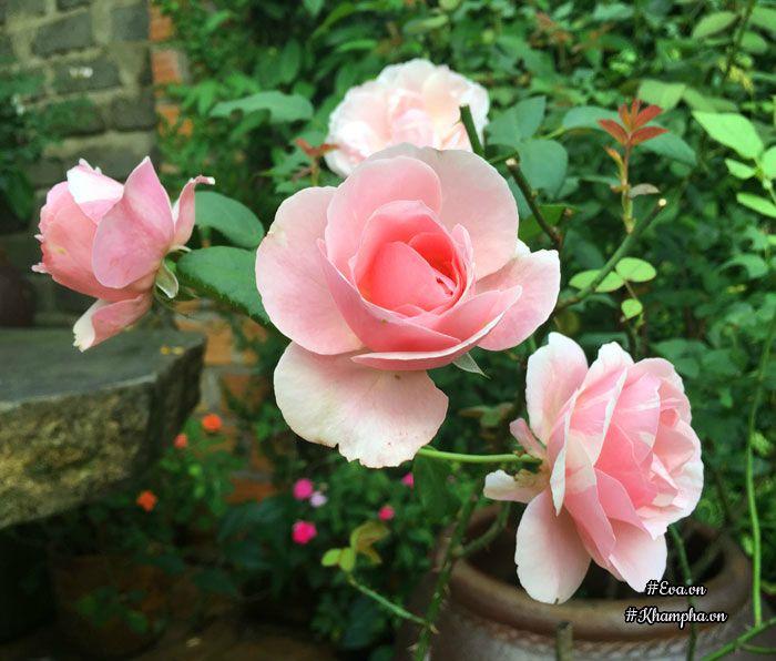 Hoa hồng Billet doux.