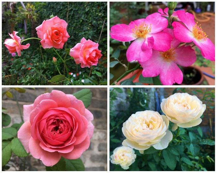 Mê mẩn vườn hoa hồng tuyệt đẹp trồng toàn trong chum của mẹ Gia Lai - 16