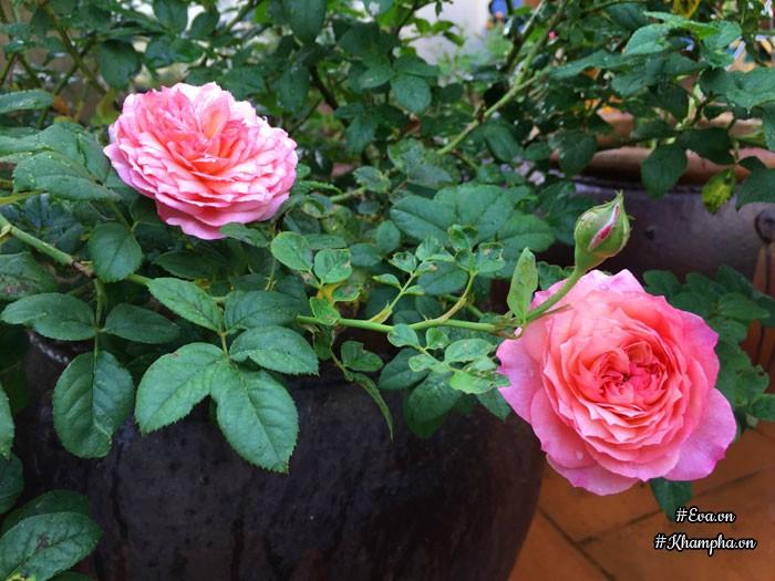 Hoa hồng leo Constance Rose được trồng trong chum nở hoa rực rỡ. Mỗi ngày chị Hạnh dành thời gian rảnh vào buổi tối và cuối tuần chăm sóc những bông hoa hồng mình yêu thích.