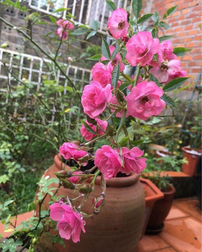 Hoa hồngMac Spice.