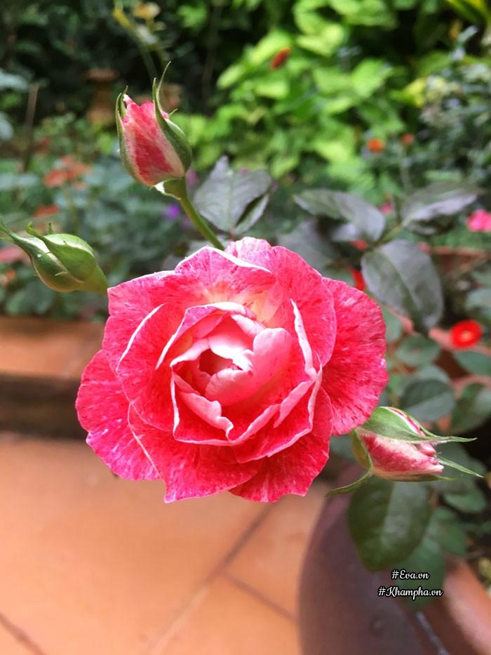 Hoa hồngLady Candle với sắc đỏ quyến rũ tuyệt đẹp.
