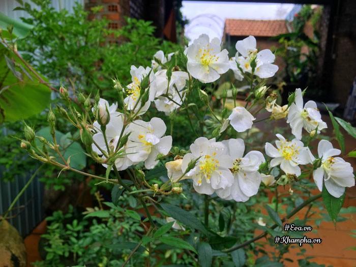 Hoa hồngDarlow