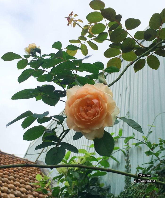 Hoa hồng Peagacus.