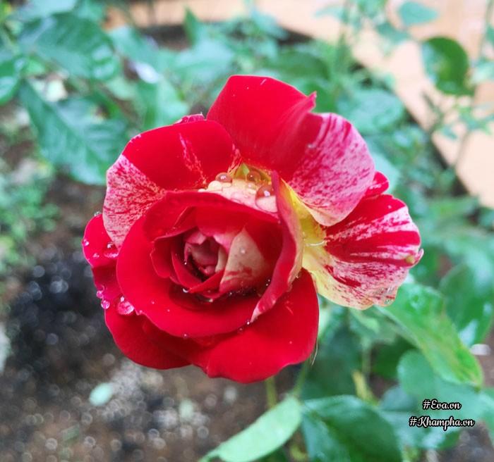 Mê mẩn vườn hoa hồng tuyệt đẹp trồng toàn trong chum của mẹ Gia Lai - 25