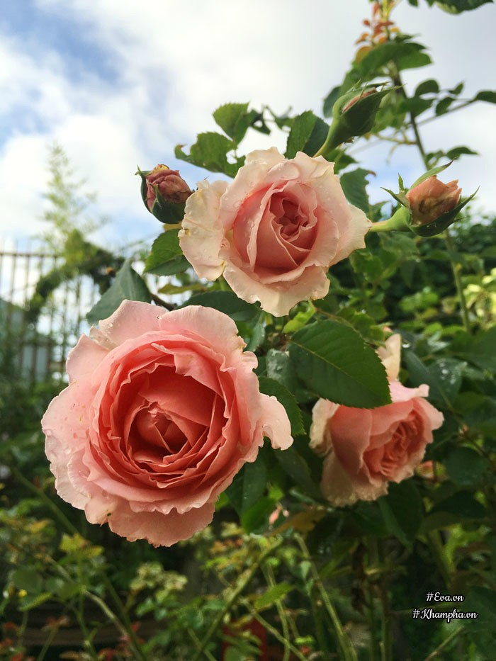 Đây là hoa hồng Bienvenue.