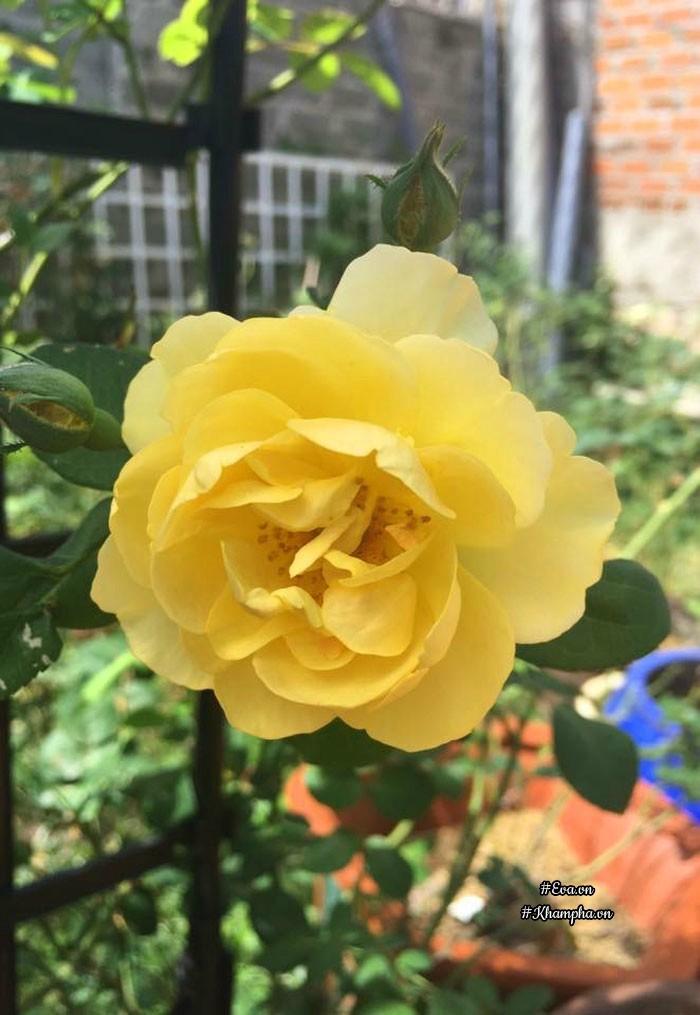 Hoa hồng vàng Gramh Thomas.Đối với chị Hạnh, mỗi sáng thức dậy, mở mắt ra được ngắm nhìnkhu vườn hoa là một ngày vui, quên hết mệt mỏi, căng thẳng.