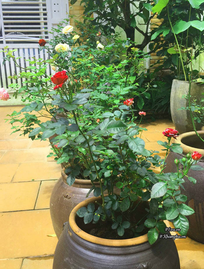 Cây hồng Scented Jewel được trồng trong chum.