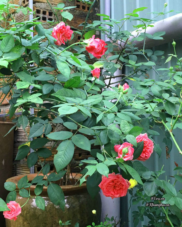 Hoa hồng cổ Sa Pa.