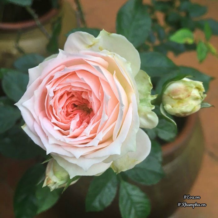 Hoa hồng Pompon veranda.