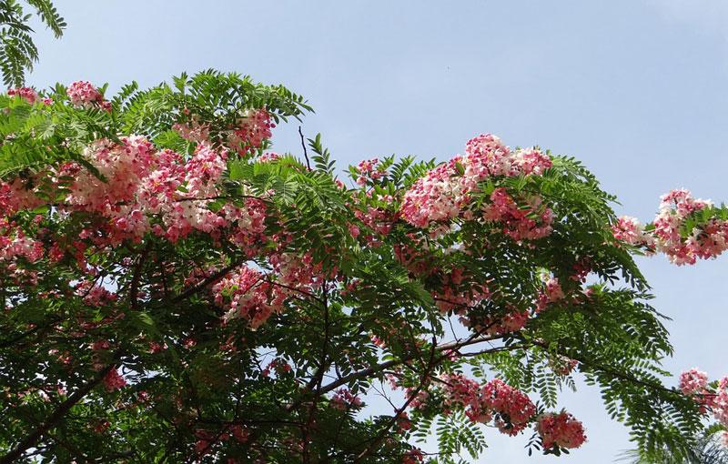 Do có hoa đẹp, tán rộng, dễ trồng nên được trồng phổ biến ở công viên, cây đường phố…