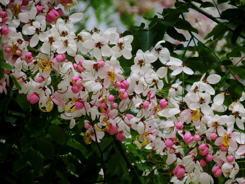 Muồng hoa đào có danh pháp khoa học là Cassia javanica.