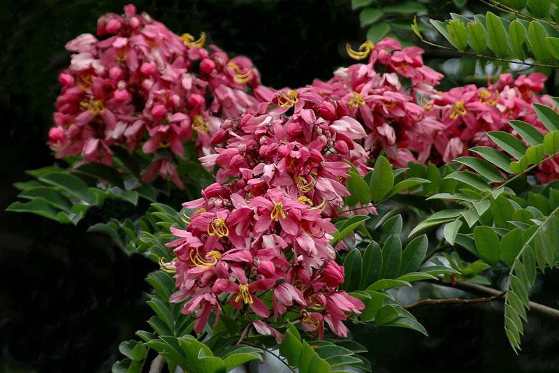 Loài cây này có tán lá rộng, vỏ thịt màu hồng, vỏ thân màu xám nâu.