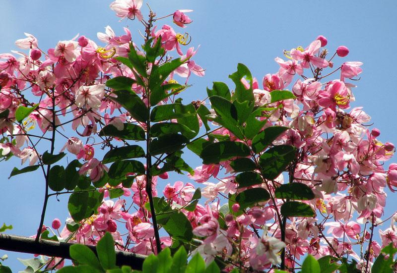 Ở môi trường tự nhiên, muồng hoa đào thường phân bố ở những khu vực ẩm ướt như ven suối, chân núi…