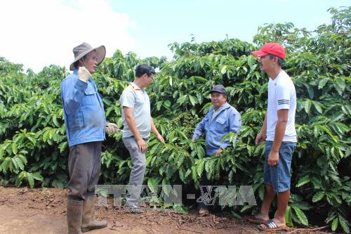 Người dân bên cánh đồng cà phê mẫu lớn tại xã Nam Yang, huyện Đăk Đoa.