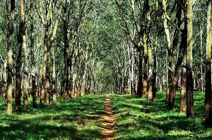 Gia Lai là một tỉnh vùng núi Tây Nguyên, nơi đất đỏ bazan màu mỡ thích hợp quy hoạch trồng rừng cao su. Không những mang lợi ích về kinh tế, mà cánh rừng cao su còn ấn tượng và quyến rũ bởi không gian đẹp kỳ lạ như góc trời châu Âu trong mùa trút lá.