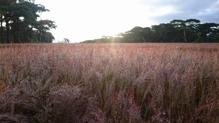 """Cỏ hồng đẹp nhất vào sáng sớm, lúc này sương còn đọng trên thân, người dân hay gọi chúng bằng cái tên khác: """"cỏ tuyết"""". Buổi chiều khi hoàng hôn buông cỏ vẫn tỏa sắc hồng, nhưng không rực rỡ bằng sáng."""