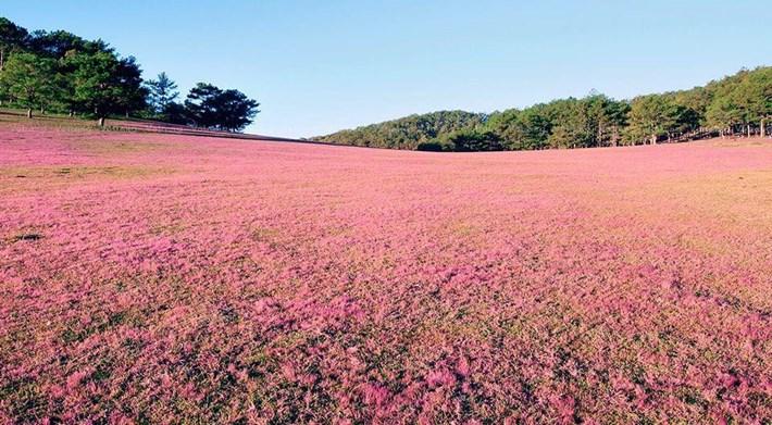 Cả đồi nhuộm màu hồng mê hoặc làm xao xuyến khách phương xa