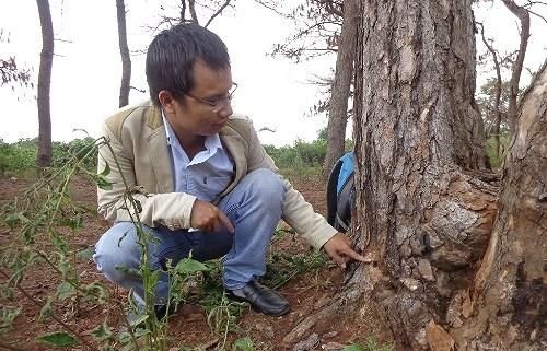 Rừng do Ban Quản lý rừng phòng hộ Bắc Biển Hồ quản lý đang ngày càng bị thu hẹp