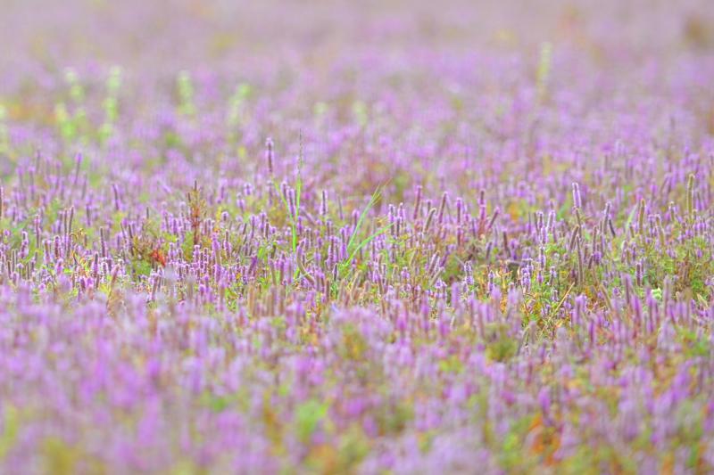 Hoa tím dại còn được gọi với tên hoa Kỳ Lân