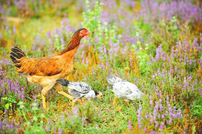 Bầy gà chen lẫn giữa đồng cỏ tạo cảm giác yên bình