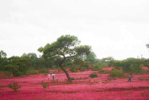 Đồi cỏ hồng huyện Đắk Đoa, Gia Lai
