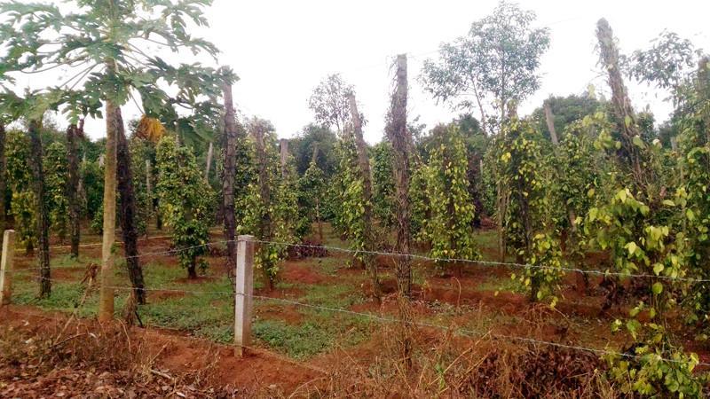 Những vườn tiêu đang có dấu hiệu bệnh chết ở xã Nam Yang