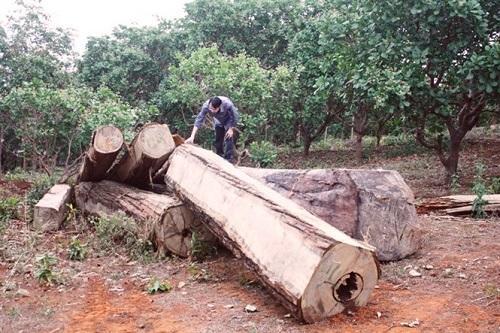 Số gỗ được vớt dưới lòng hồ thủy điện