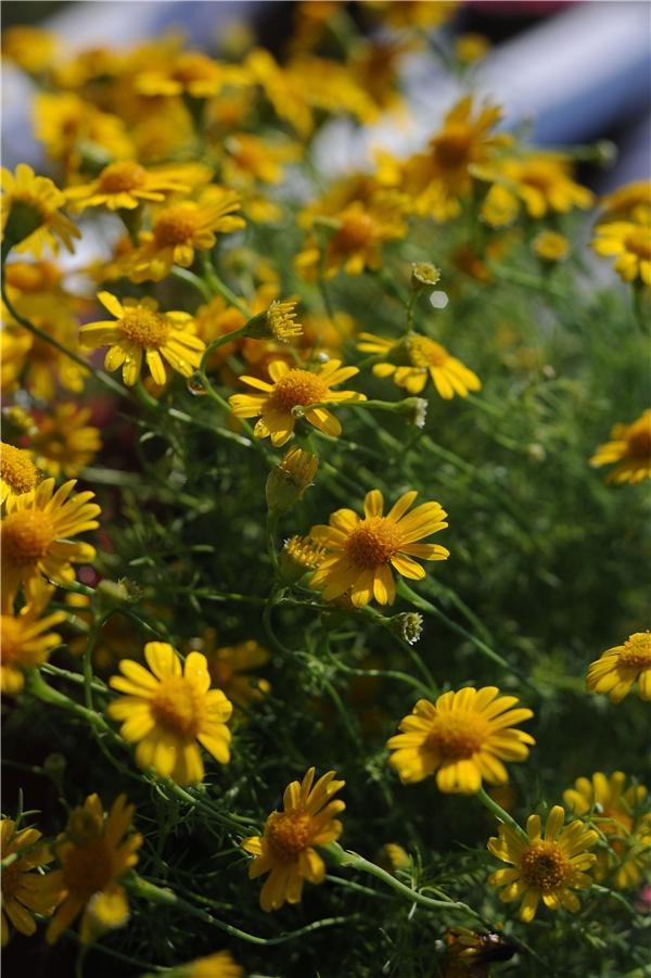 Những con đường ngập sắc vàng hoa dã quỳ là nét đặc trưng của vùng đất Tây Nguyên. (Ảnh: Minh Đức Photokt)