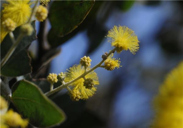 Hoa Mimosa bung nở rộ khắp núi đồi, có nghĩa là mùa xuân đã về trên buôn làng. (Ảnh: Minh Đức Photokt)