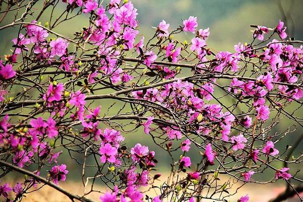 Dù không có hóa chất, nhưng trên tất cả các bộ phận hoa đỗ quyên đều chứa chất độc.Ảnh minh họa