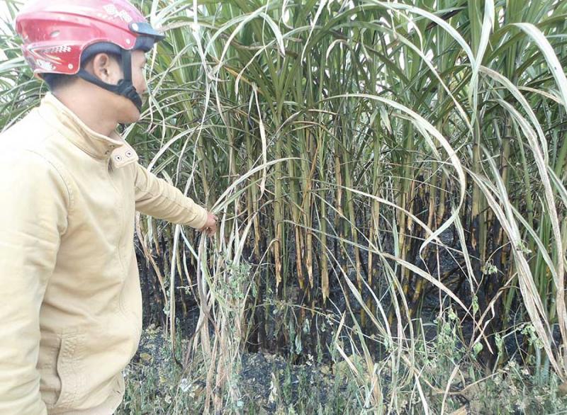 Đám mía gần 3 ha của người dân xã Thành An (thị xã An Khê) bị thiêu rụi. Ảnh: Ngọc Minh